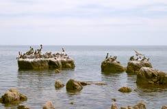 seabirds утесов пеликанов стоковые фотографии rf