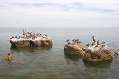 seabirds утесов пеликанов стоковая фотография