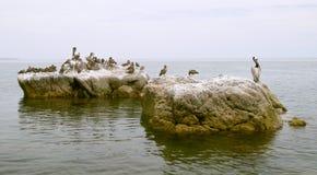 seabirds утесов пеликанов стоковые изображения rf