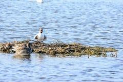Seabirds Obraz Royalty Free