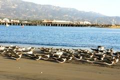 Seabirds along the beach in Santa Barbara Stock Images