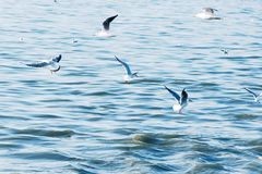 Seabirds av seagulls flyger en stor flock lågt över vågor av vatten i havet Tonat i stil av hipsteren för instagramljustappning Arkivfoton