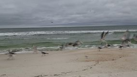 Seabirds on beach and flying stock footage