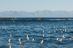 Seabirds Cape Town Stock Photography
