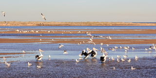 Lagoon landscape with pelicans and sea gulls Stock Photos