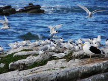 Seabirds. A community of Terns and seagulls at the West Coast of New Zealand Stock Photo