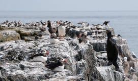 Seabirds on Farne Islands Cliffs Stock Photo