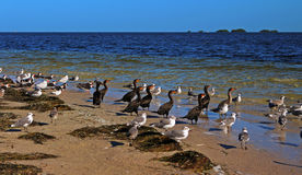 Seabirds in the Howard Park Royalty Free Stock Photography