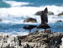 Seabirds in Kaikoura Stock Image