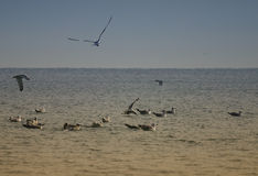 Seabirds on ocean. Flock of seabirds on ocean Royalty Free Stock Image