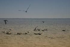 Seabirds on ocean Royalty Free Stock Image