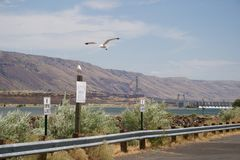 Seabirds over the Columbia River. Seabirds fly and perch along the Columbia River, with a large dam in the background Stock Photos