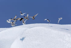 Seabirds over iceberg near St. Anthony, Newfoundland Royalty Free Stock Photos