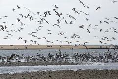 Seabirds on a Pacific Ocean tidal flat Stock Photography