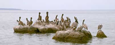 Seabirds and pelicans on rocks Stock Photo