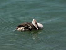 Seabirds. Podiceps cristatus. Stock Photo