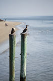 Seabirds on Posts with Beach in Background Stock Photography