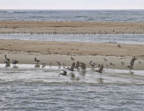 Seabirds Rest on an Outer Banks Sand Bar Royalty Free Stock Photo