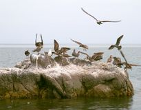 Seabirds on rock Royalty Free Stock Image