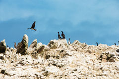Seabirds Royalty Free Stock Image