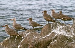 Seabirds on rocks Royalty Free Stock Image