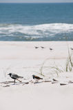 Seabirds on seashore Royalty Free Stock Photography