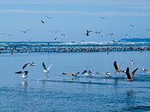 Seabirds at the Seashore Royalty Free Stock Image