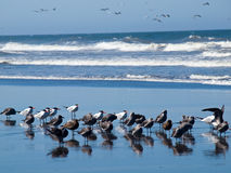 Seabirds at the Seashore Royalty Free Stock Images