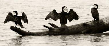 Seabirds sitting on log Stock Images