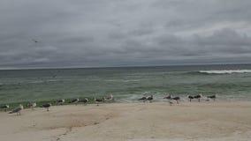 Seabirds stock video