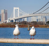 Seabirds standing at the park with Rainbow bridge background in Toyko, Japan Stock Image