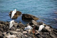 Seabirds vaggar på på sjösidan Arkivfoto