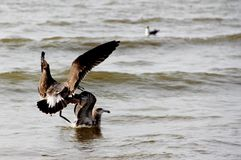 Seabirds in the water. A group of birds in the water Royalty Free Stock Photos