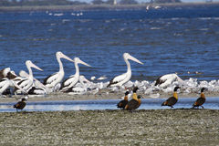 Seabirds and Waterbirds Stock Image
