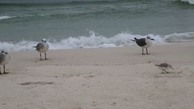 Seabirds and waves stock footage