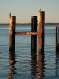 Seabirds on wooden jetty. Seagull and heron sat on wooden jetty posts reflecting on sea royalty free stock photography