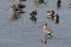 Seabirduppehälle på våtmark Arkivfoto