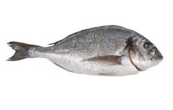Seabream. Fish on a white background stock photo