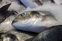 Seabream. Just caught Gilthead seabream, frozen on ice Royalty Free Stock Photos