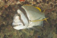 Seabream de Twobar no recife coral Imagens de Stock