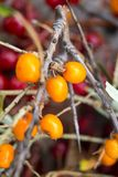Seabuckthorn莓果 免版税图库摄影