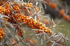 Seabuckthorn. In nature, ready to harvest Royalty Free Stock Image