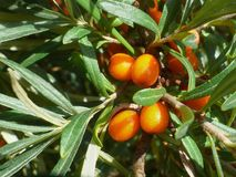 Seabuckthorn. Leaves and fruits of an seabuckthorn Royalty Free Stock Photo