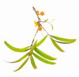 Seabuckthorn Fotografia de Stock Royalty Free