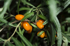 Seabuckthorn Fotos de Stock