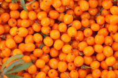 Seabuckthorn background. Background from sea-buckthorn berries (Hippophae rhamnoides). This product contain the plenty of vitamin C Stock Photography