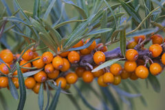 Seabuckthorn berries on a branch. Berries are rich in vitamins Royalty Free Stock Images