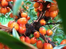Seabuckthorn berries. Orange seabuckthorn berries with waterdrops on it Stock Photography