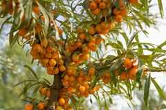Seabuckthorn_2 Royalty Free Stock Images