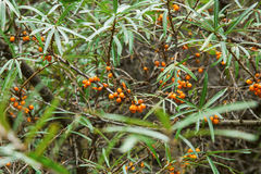 Seabuckthorn bush. Seabuckthorn plant bush with berries Royalty Free Stock Photos